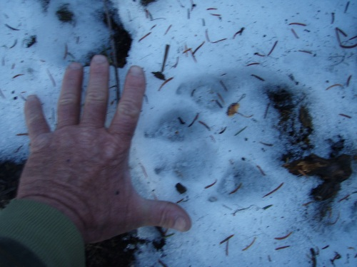 Wolf tracks John Day Mtn 2008 005